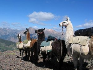 pack llama train in the mountains